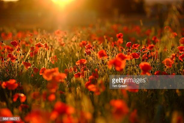 poppy love - oriental poppy stock pictures, royalty-free photos & images
