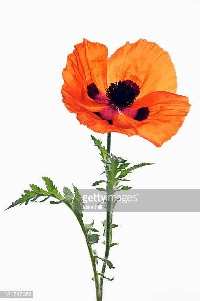 poppy (papaver orientale) 'mandarin', june - oriental poppy stock pictures, royalty-free photos & images