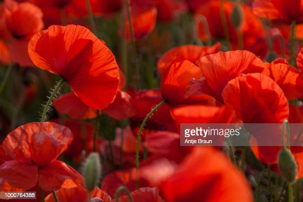 poppy - poppy stock pictures, royalty-free photos & images