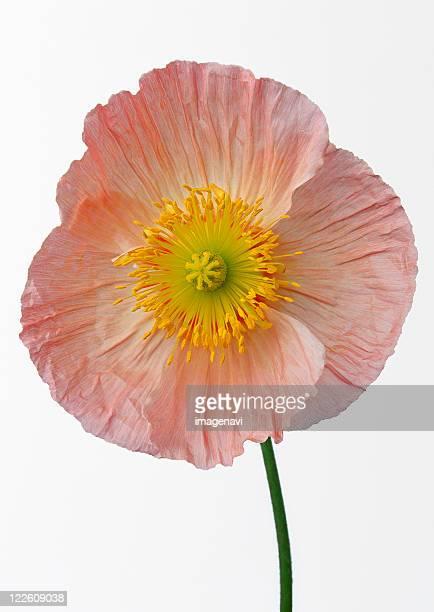 poppy - coquelicot photos et images de collection
