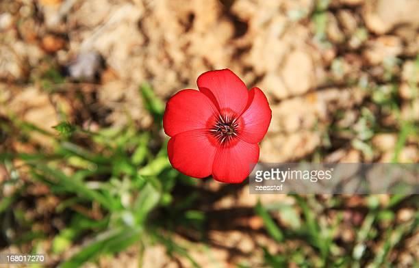 poppy - zeesstof stock pictures, royalty-free photos & images