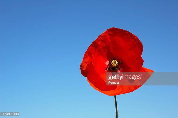 poppy - remembrance sunday stock photos and pictures