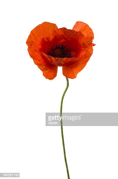 poppy. - oriental poppy stock pictures, royalty-free photos & images