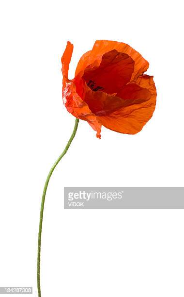 poppy. - poppy stock pictures, royalty-free photos & images