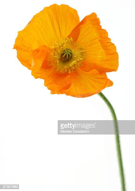 poppy - oriental poppy stock pictures, royalty-free photos & images