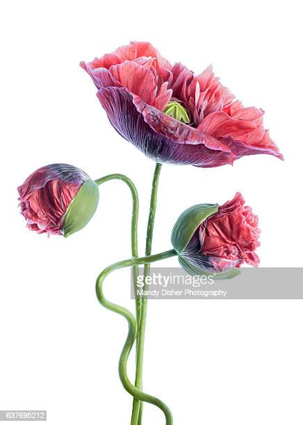poppy portrait - poppy stock pictures, royalty-free photos & images