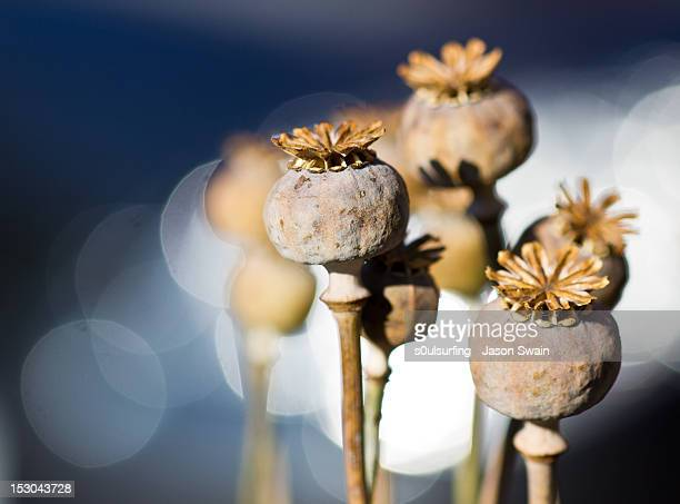 poppy seed bokeh - s0ulsurfing stock pictures, royalty-free photos & images