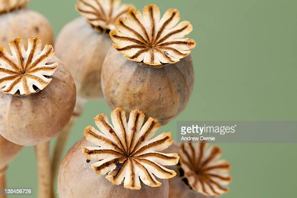 poppy seed heads - andrew dernie - fotografias e filmes do acervo