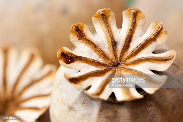 poppy seed heads - andrew dernie stock pictures, royalty-free photos & images