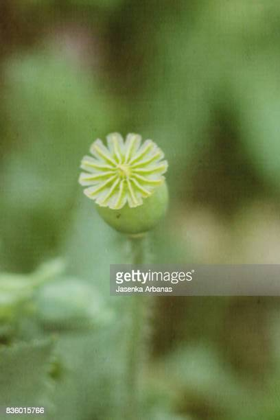 Poppy seed pods stock photos and pictures getty images poppy seed pod mightylinksfo