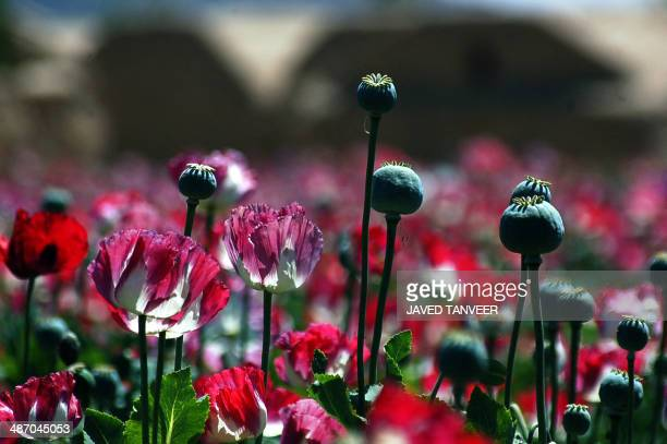 Poppy seedheads stand amongst poppies blooming in a field on the outskirts of Kandahar on April 27, 2014. Citing the United Nations Office of Drugs...