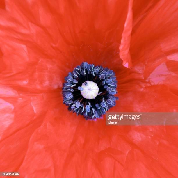 Poppy stamen