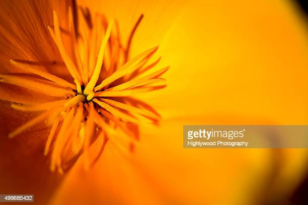 poppy sunburst - highlywood stock photos and pictures