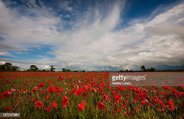 poppyfield - kildare stock photos and pictures