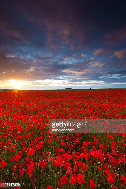 poppyfield sunset - essex england stock pictures, royalty-free photos & images