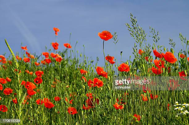 poppy-meadow in front of blue sky - june stock pictures, royalty-free photos & images