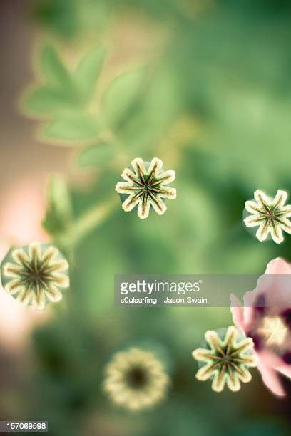 poppyseed dof - s0ulsurfing stock pictures, royalty-free photos & images