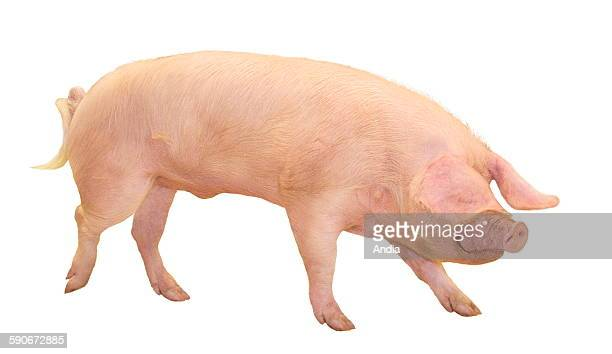 Porcine breeding Landrace boar in profile photo that can be cut out