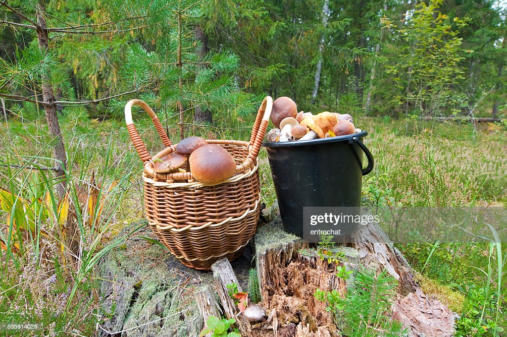 Porcini em piny madeira. : Foto de stock