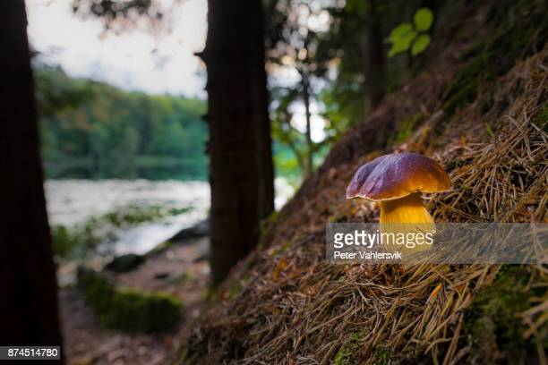 Porcini mushroom by lake in evening light