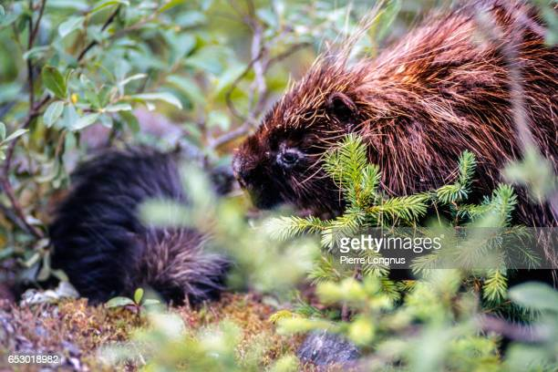 Porcupine and his baby