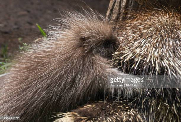 porcupine baby(1) - porcupine stock photos and pictures