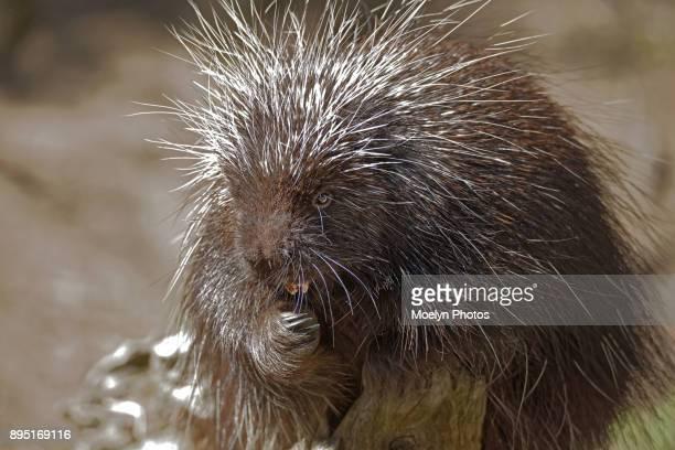 Porcupine Close up