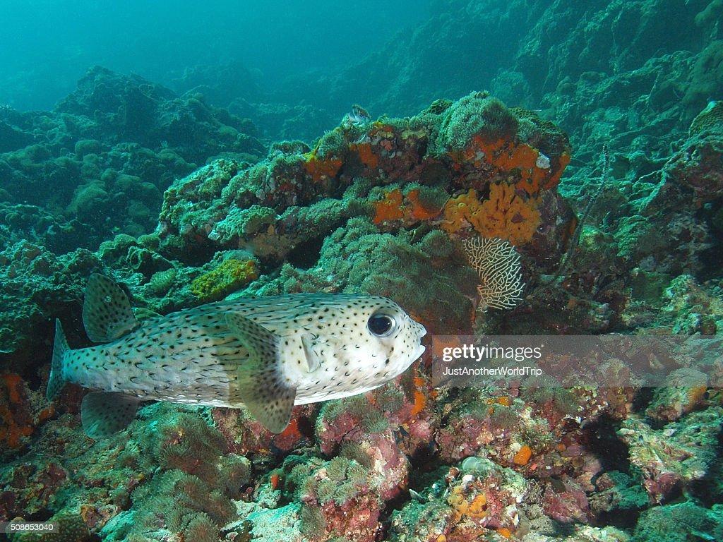Porcupine fish at Hin Bida (Thailand) : Stock Photo