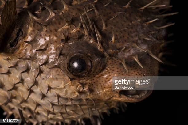 A porcupine fish is pictured at UCL's Grant Museum of Zoology on July 17 2017 in London England The piece awaits conservation where it will be...