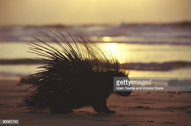 porcupine hystrix crisata on beach east african coast
