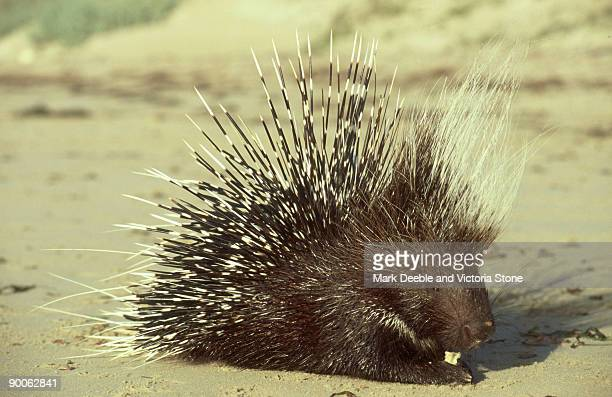 porcupine: hystrix cristata  on beach  east african coast