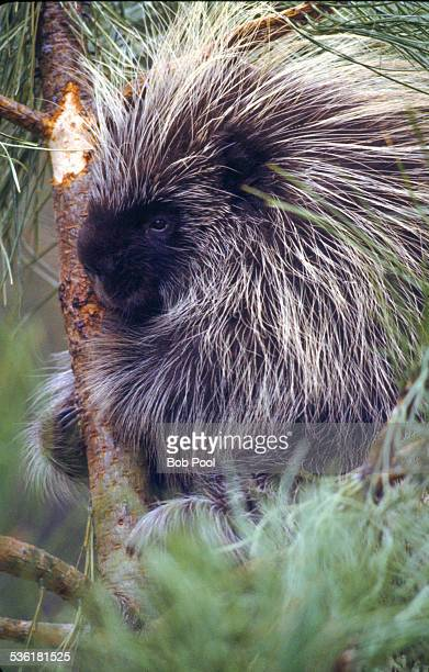 Porcupine in a pine tree