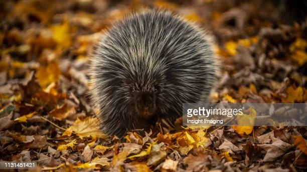 porcupine in the forest - porcupine stock photos and pictures