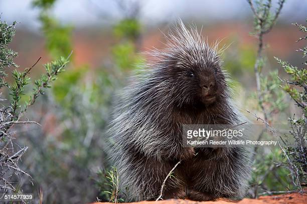 porcupine in the southwest - porcupine stock photos and pictures