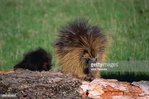 Porcupine Mother and Baby Eating Tree Bark