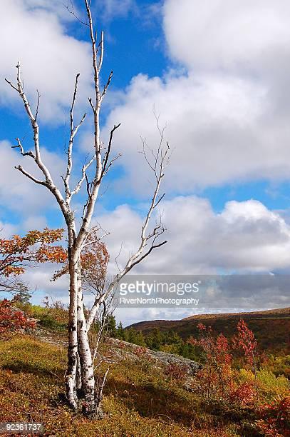 lone birch, de porcupine mountains - parque estatal de porcupine mountains wilderness fotografías e imágenes de stock