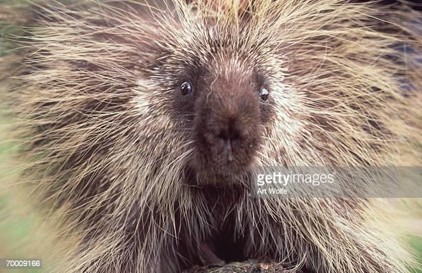porcupine (erethizon dorsatum) oregon, usa, head-shot - istrice foto e immagini stock