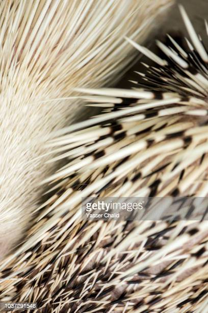 porcupine - macro animal photos et images de collection