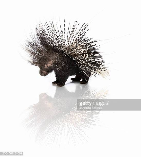 porcupine (hystrix cristata) - porcupine stock photos and pictures