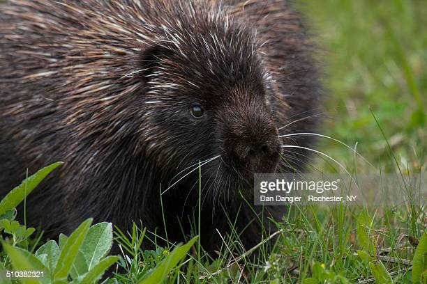 porcupine - forillon national park stock pictures, royalty-free photos & images