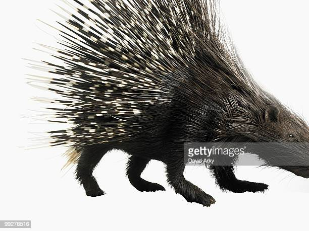 porcupine - porcupine stock photos and pictures