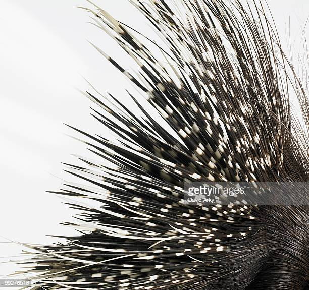 porcupine quills - porcupine stock photos and pictures