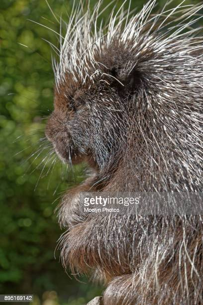 Porcupine Sideview