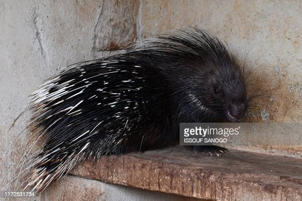 A porcupine stands in its enclosure in the park of former Burkina Faso's President Blaise Compaore in the village of Ziniare near Ouagadougou on...