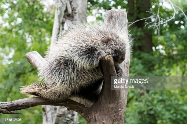 porcupine up a tree - istrice foto e immagini stock