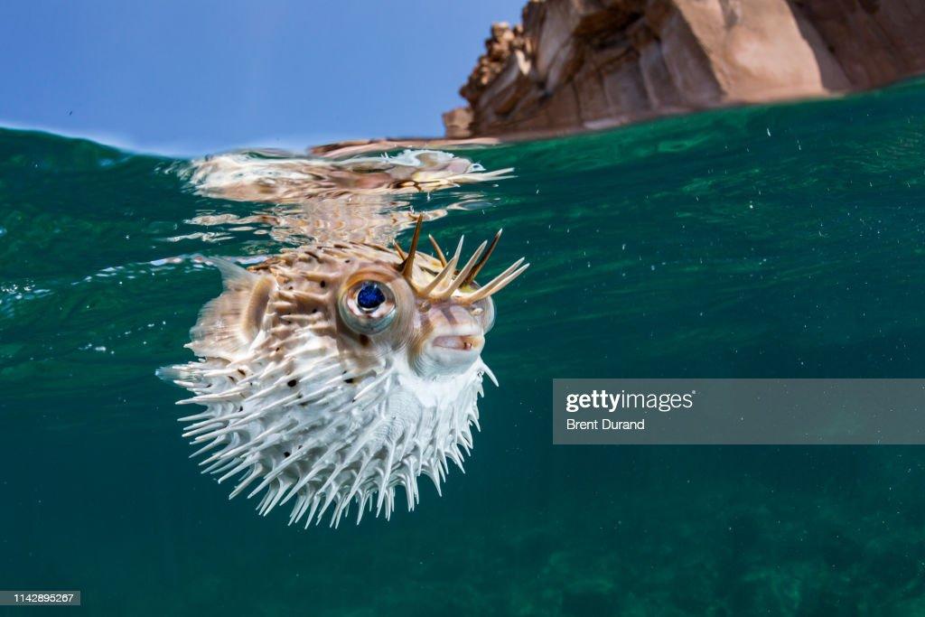 Porcupinefish / Pufferfish / Balloonfish : Foto de stock
