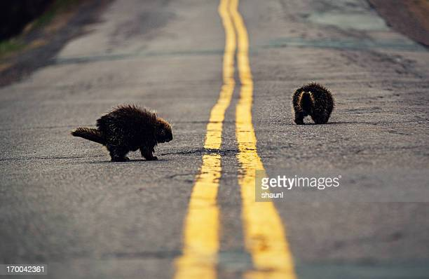 porcupines on the road - roadkill stock photos and pictures