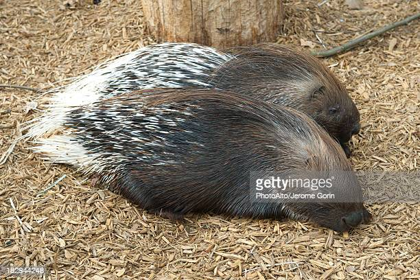 porcupines resting side by side - mulch stock pictures, royalty-free photos & images