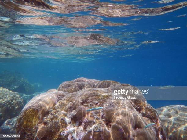 porites coral in the tropical lagoon of maldivian island - pores stock photos and pictures