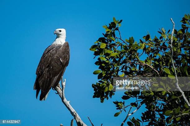 A White-bellied Sea Eagle roosting in a mangrove forest.